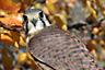 American Kestrel, female