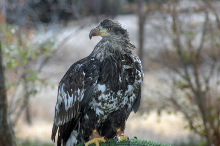 Alaskan Female Bald Eagle