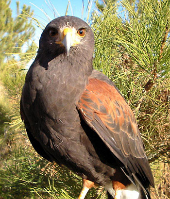 Mature male Harris' Hawk
