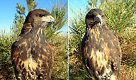 Young male Harris' Hawks
